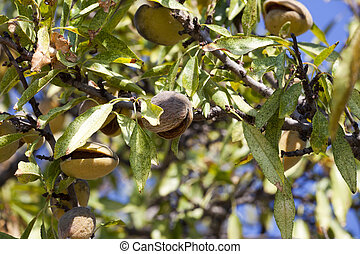 Close-up of ripe almond fruits on a Tree