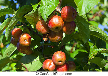 Crab apples on the tree - Many ripe crab apples hanging on...