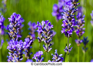 Lavender flowers - Beautiful Lavender flowers blooming in a...