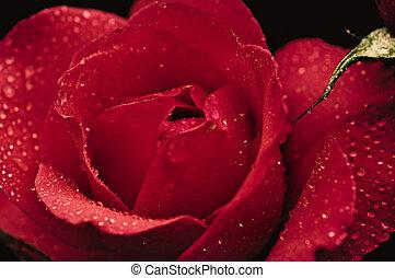 Red rose macro - Red beautiful rose macro with water drops,...