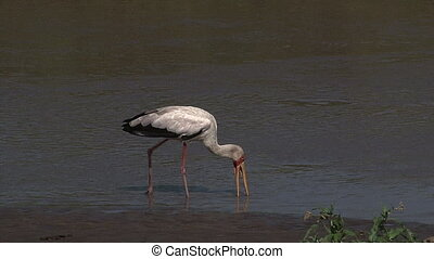 Yellow-billed Stork Mycteria ibis foraging in water