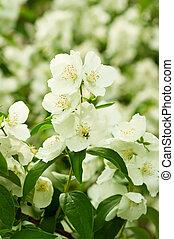Jasmine flower growing on the bush in garden, floral...