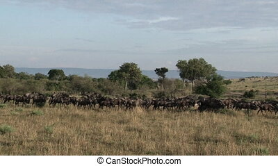Herd of Wildebeest ( Conneathus taurinus) walking in line...
