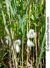 Common cottongrass in nature