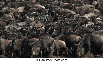 Wildebeest Conneathus taurinus herd gathered before crossing...