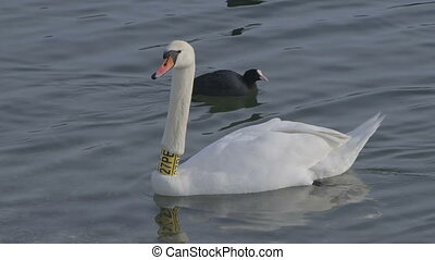 Mute Swan with Neck Collar - Portrait of a swan with neck...
