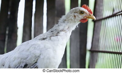 Chick in a cage - Boiler in rural wooden fence