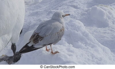 Zagreb, Jarun lake - River Gull (Larus ridibundus) at jarun...
