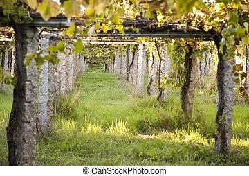 vineyard - vine vineyards in typical Galician rias bajas