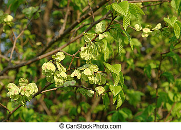 Smooth-leaf Elm Ulmus carpinifolia - Leaves and fruits of...