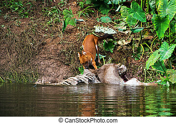 Asian wild dogs eating a deer carcass