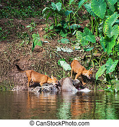 Asian wild dog family
