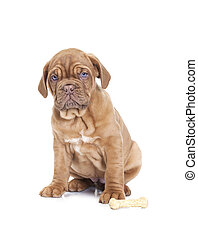 French Mastiff puppy with dog bone - Nine months old French...