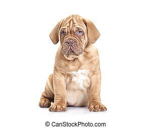 French Mastiff puppy - Nine months old French Mastiff puppy...