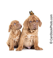 Portrait of French Mastiff pups with butterfly - Two...