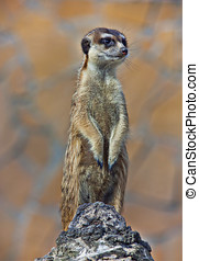 Meerkat (Surikate) standing on the stone and see