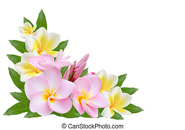 Pumeria on white background - white and pink Frangipani,...