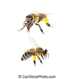 bee with pollen isolated on white