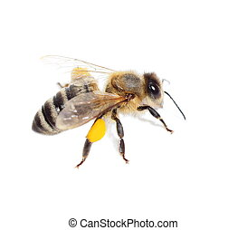 bee with pollen isolated  white
