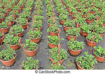 Strawberry plants - Strawberry plants at the wholesale are...