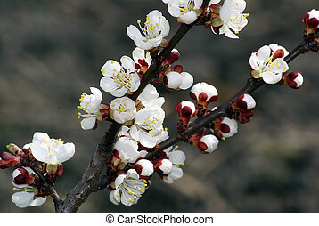 Apricot Blossoms - A closeup shot of lovely apricot blossoms...