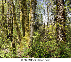West Coast rain forest, near Chilliwack River, British...