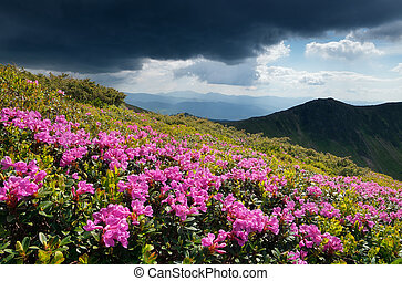 Glade blooming rhododendrons in the mountains - Mountain...