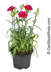 Red terry carnation in soil pot - Dark red terry european...