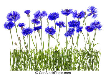cornflowers meadow - Gentle lonely blue cornflowers and buds...
