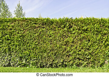 Fragment of a rural fence hedge  from evergreen plants