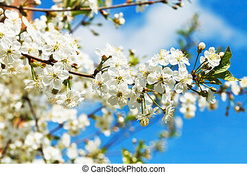 branch of cherry blossoms and white cherry flowers in sunny...