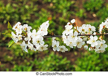 twig of cherry blossoms in spring forest - twig of white...