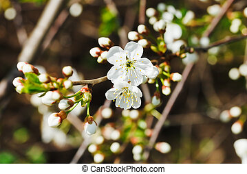 sprig of blossoming cherry in spring garden - sprig of white...