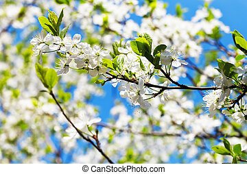 sprig of cherry blossoms and white cherry flowers in sunny...