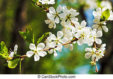 branch of cherry blossoms close up in sunny spring day