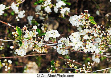 twigs of flowering cherry in spring forest - twigs of white...