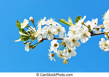 branch of blossoming cherry on blue sky background