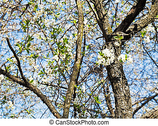sprigs of cherry blossoms and old trunks in sunny spring day