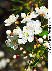 white flowers of cherry blossoms close up in spring garden
