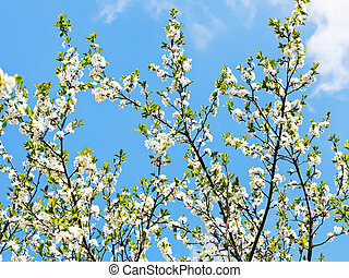 many branches of cherry blossoms on blue sky background