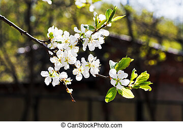 sprig of cherry blossoms in orchard - sprig of cherry...