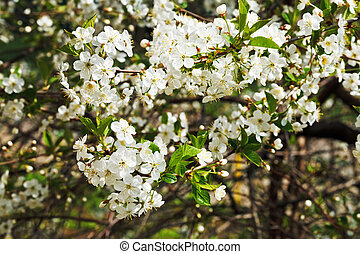 branches of cherry blossoms in spring forest - branches of...