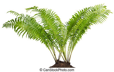 Fern forest real bush isolated - Fern forest real big bush...