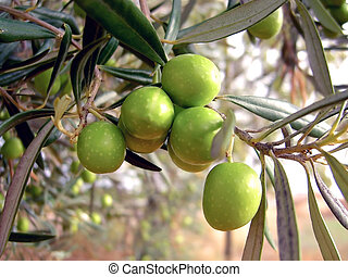 Olives hanging - several olives hanging from the tree