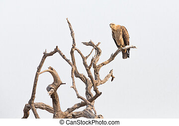 Aquila rapax perched on a branch - Tawny eagle Aquila rapax...