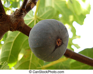 Common fig  - dark Common fig hanging from the tree.