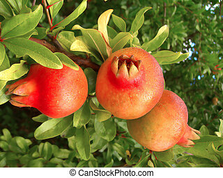 Pommegranate trio - three pommegranate fruits hanging from...