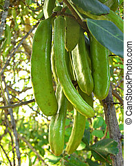 Carob tree fruit - a bunch of carob tree fruits hanging from...