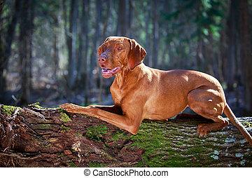 dog - Hungarian Vizsla
