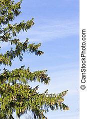 Green fir tree branches